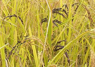 いろいろ米の栽培のイメージ